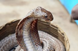 A Cobra snake in a basket