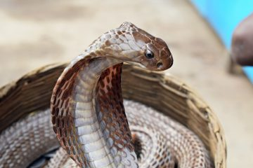 A Cobra snake in a basket