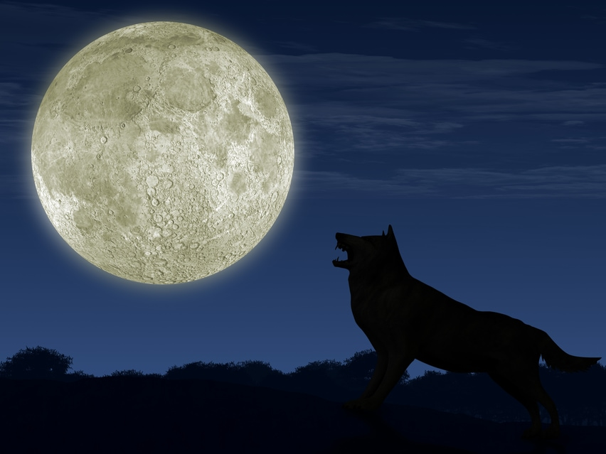 A wolf howling at the moon