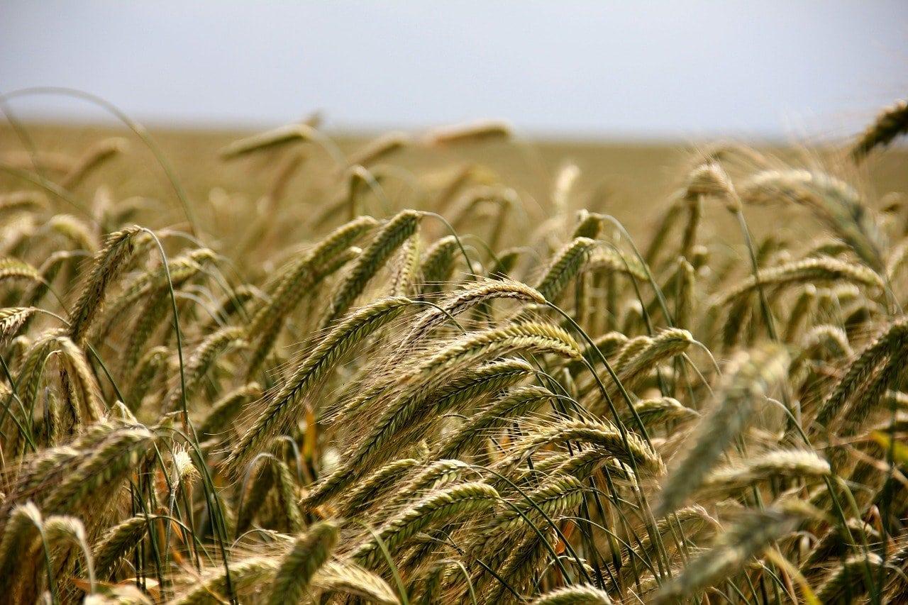 A field of rye
