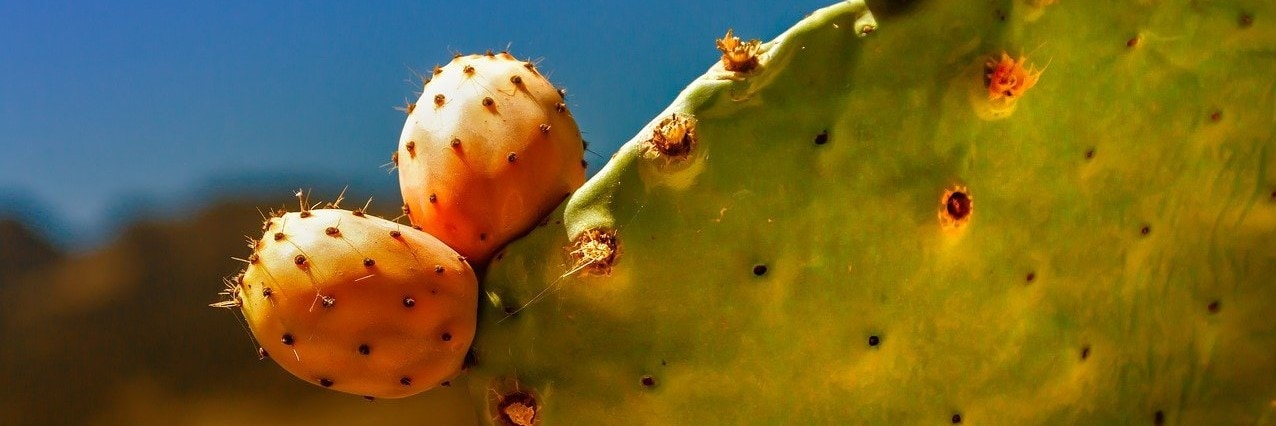 A prickly pear plant